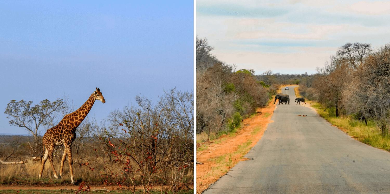 Animales en el Parque Kruger en Sudáfrica - Bichito viajero