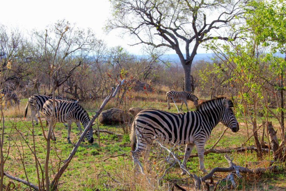Cebras en el Parque Kruger en Sudáfrica - Bichito viajero
