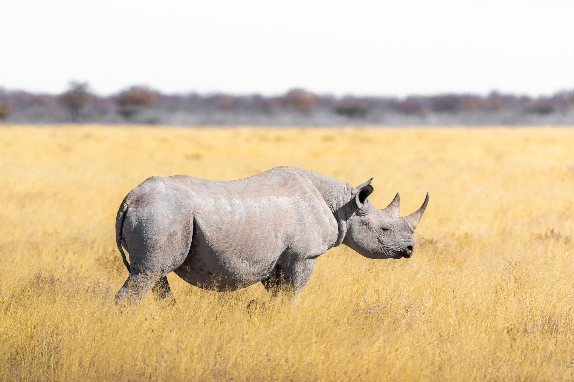 Rinoceronte, dónde ver safaris virtuales – Bichito viajero
