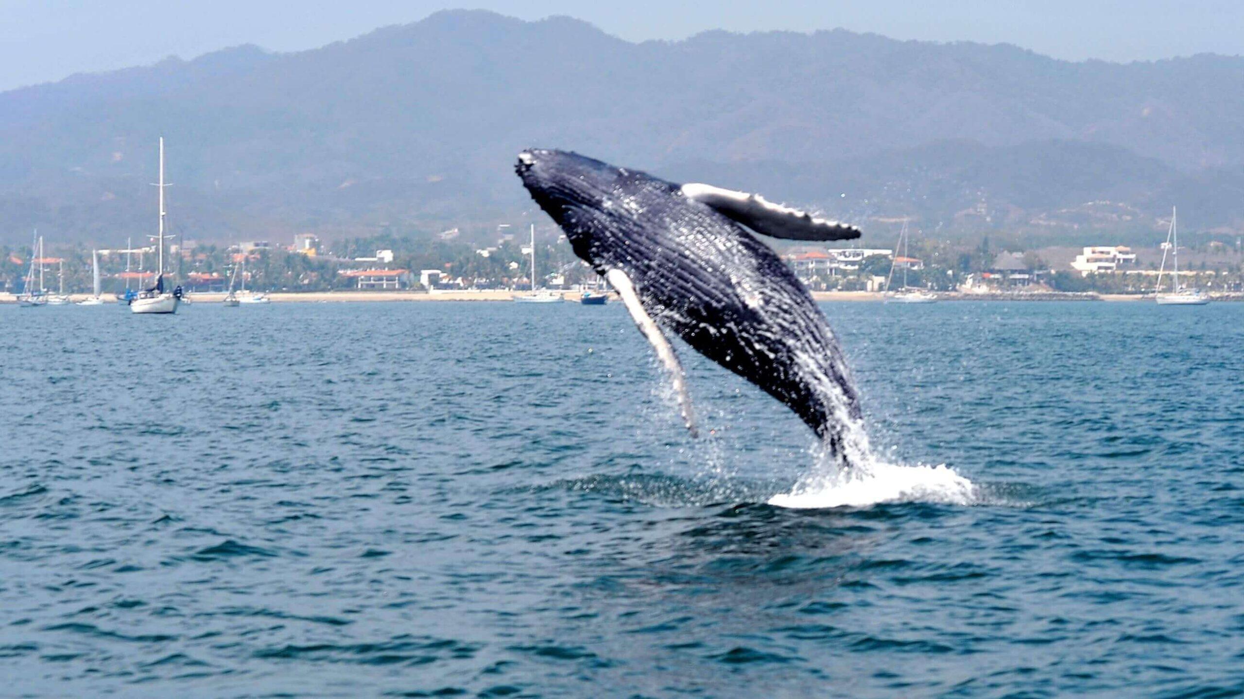 avistamiento de ballenas riviera nayarit