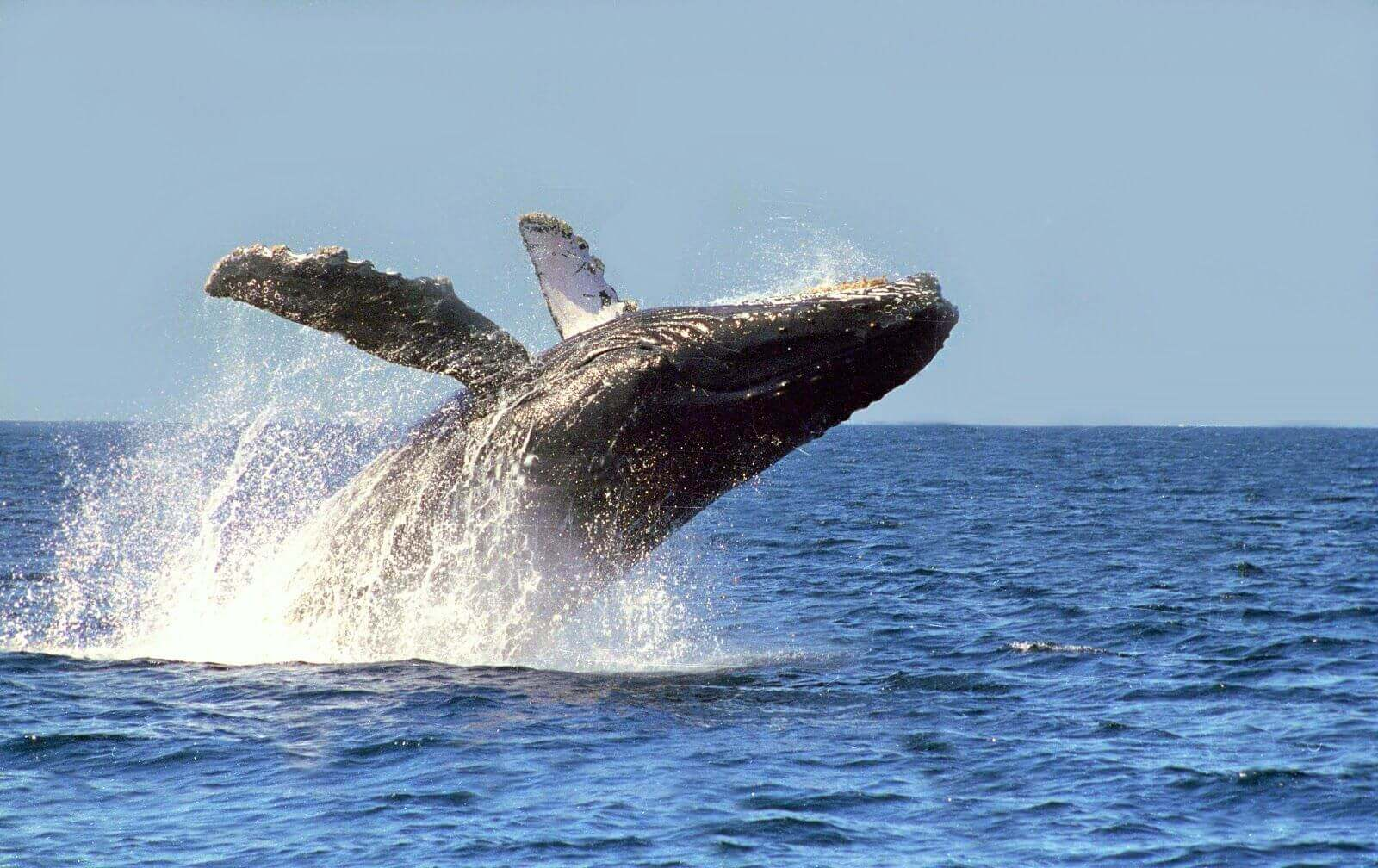 riviera nayarit avistamiento de ballenas
